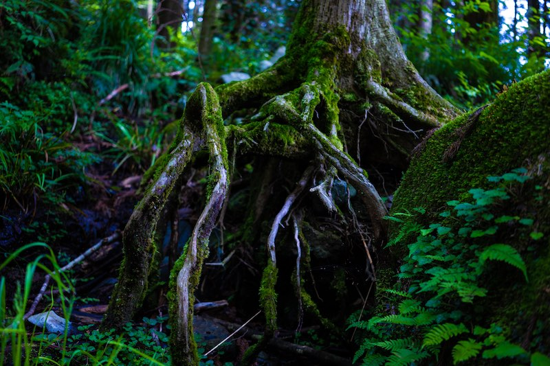 Moss covered tree roots.